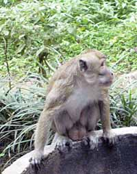 Kaliurang - Monyet Liar